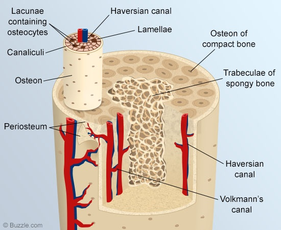 A List Of All The Flat Bones In The Human Body With Diagrams Skeletal System