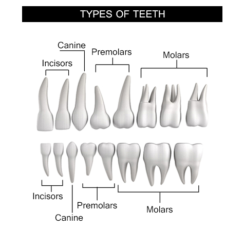 Information about the human tooth anatomy with labeled information about the human tooth anatomy with labeled diagramsskeletal system ccuart Image collections
