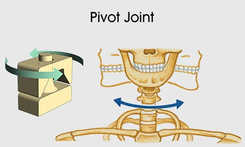Fabulous Examples Of Pivot And Hinge Joints In The Human