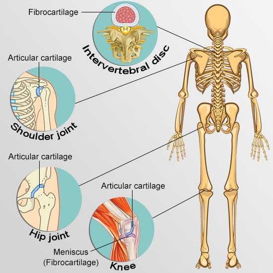 Your Guide To Understanding The Types Of Cartilage In The Human